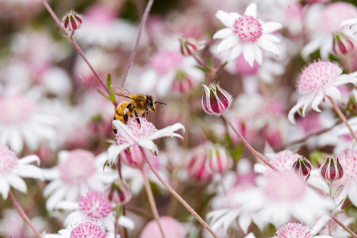 Chùm ảnh: Bích thảo – loài hoa nở sau những trận cháy rừng