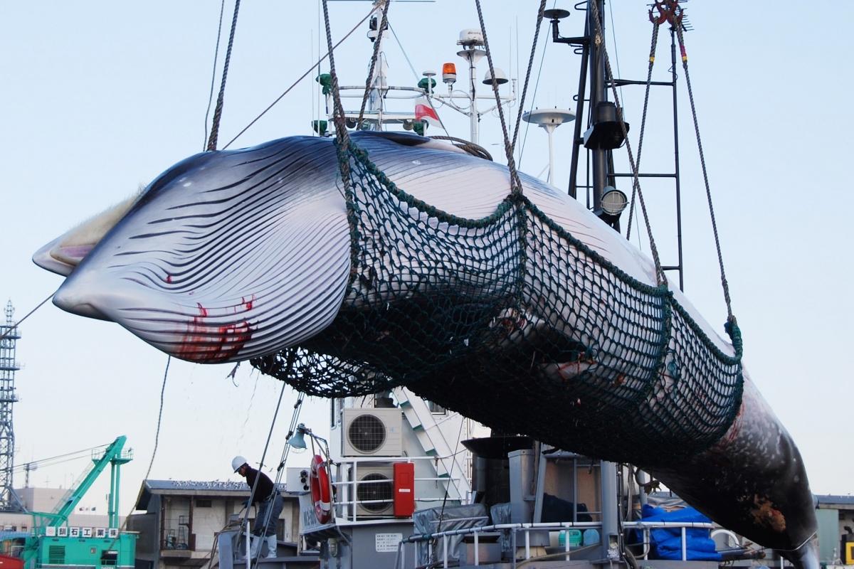 Sự tàn nhẫn của nghề săn cá voi ở Nhật Bản