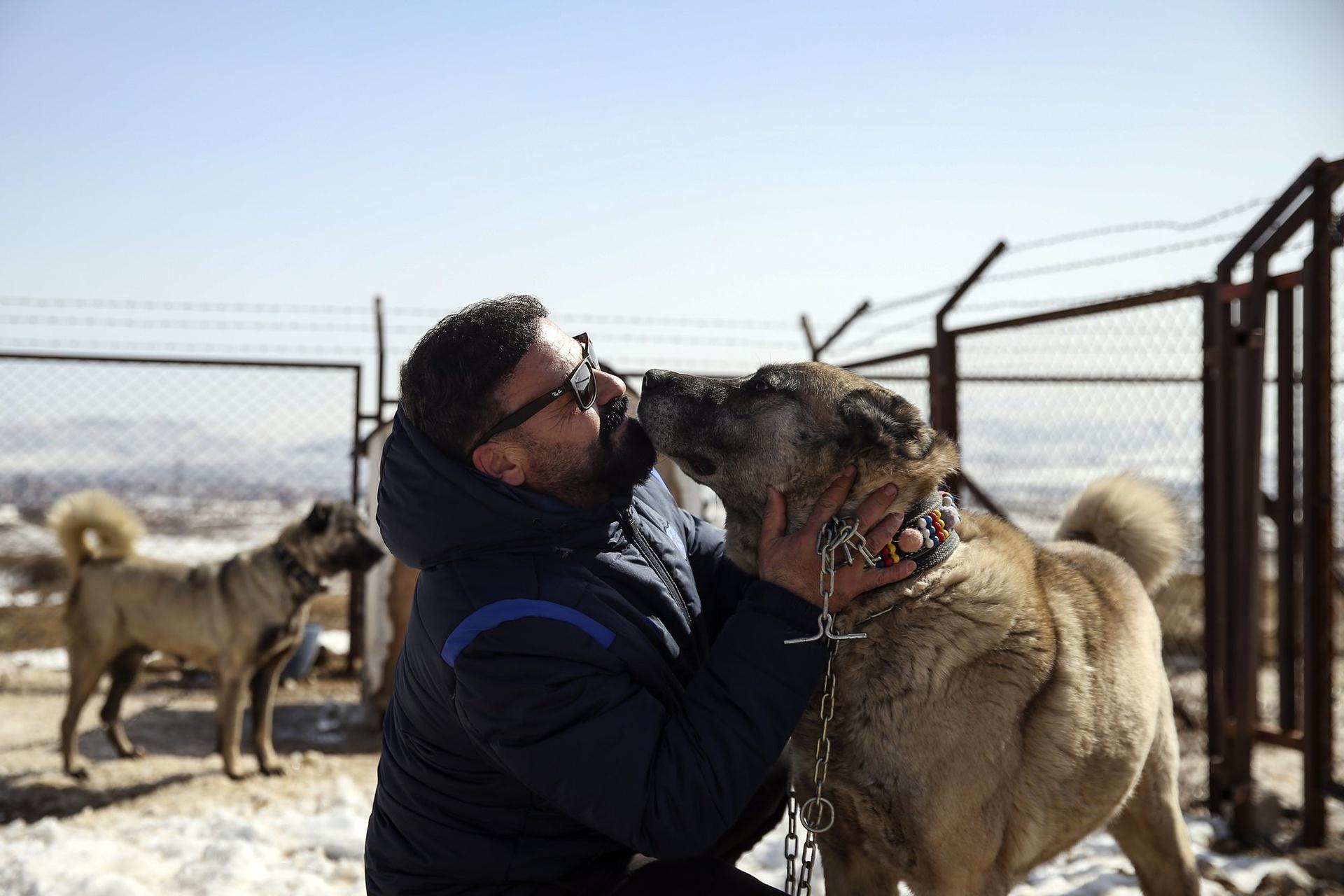 Chùm ảnh: Kangal – giống chó được mệnh danh là kẻ giết sói
