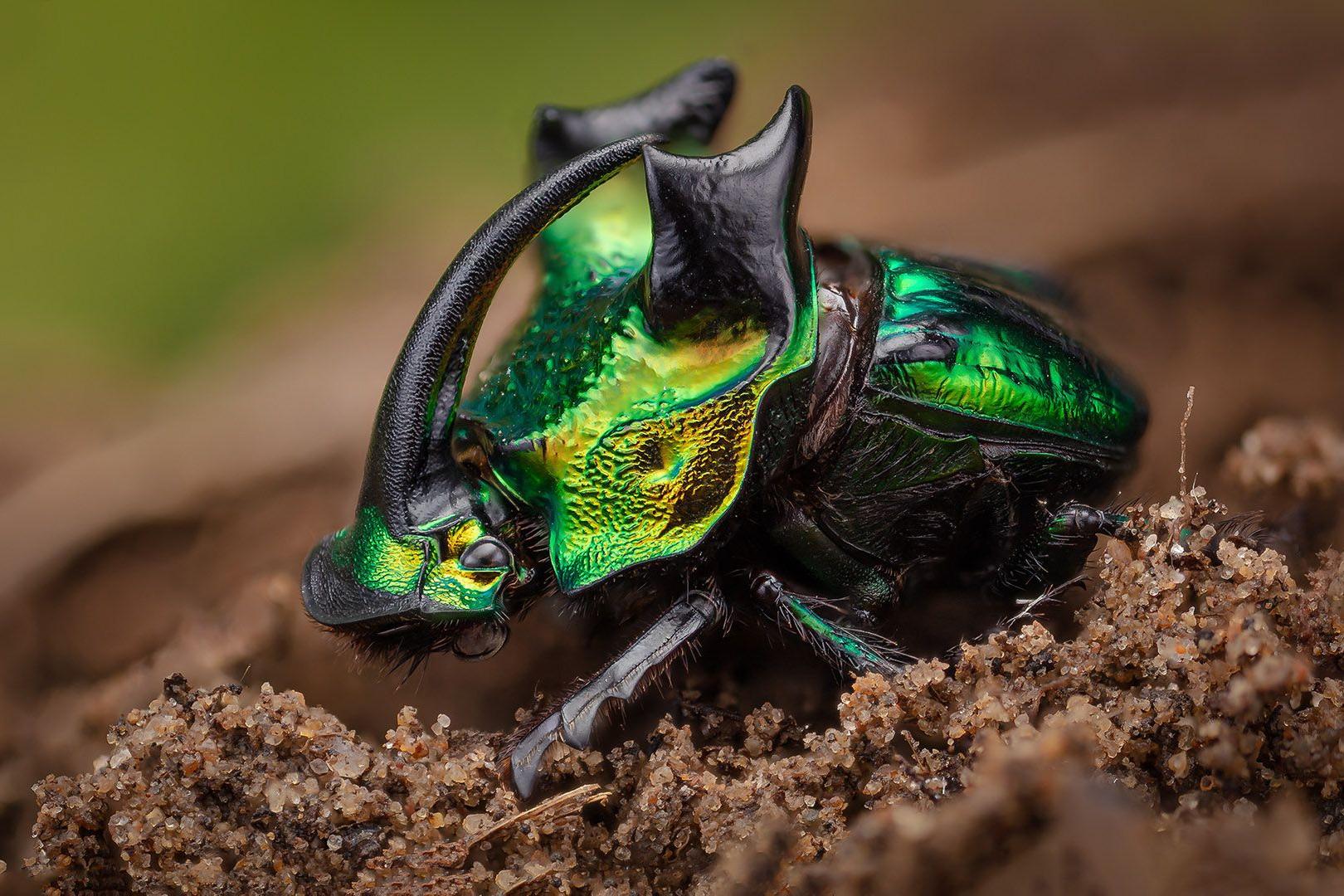 Chùm ảnh: Mê mẩn với màu sắc kỳ ảo của các loài bọ cánh cứng