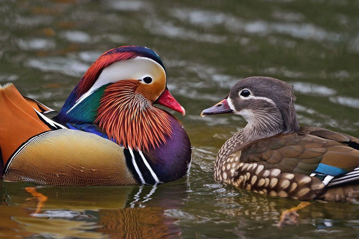 Chùm ảnh: Vẻ đẹp quyến rũ khó tin của các loài thuộc họ nhà vịt