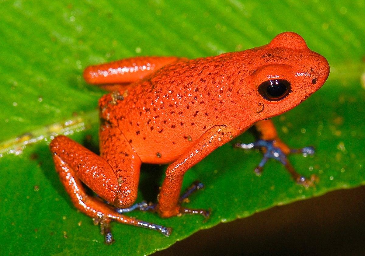 Chùm ảnh: Vẻ đẹp chết chóc của các loài ếch phi tiêu độc ở Nam Mỹ