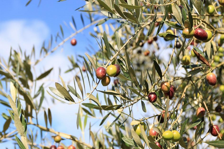 thit bo olive wagyu anh 6
