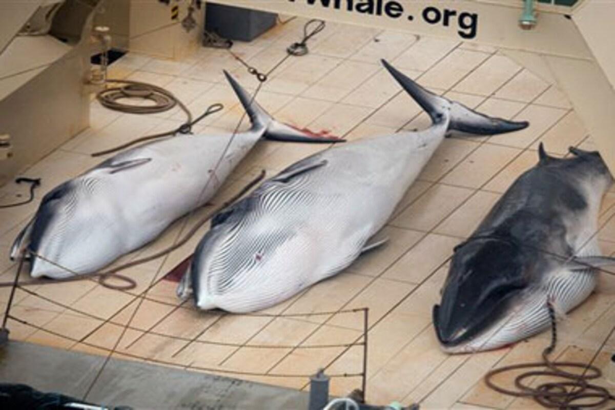 Người Nhật Bản săn cá voi: Cuộc tranh cãi chưa có hồi kết
