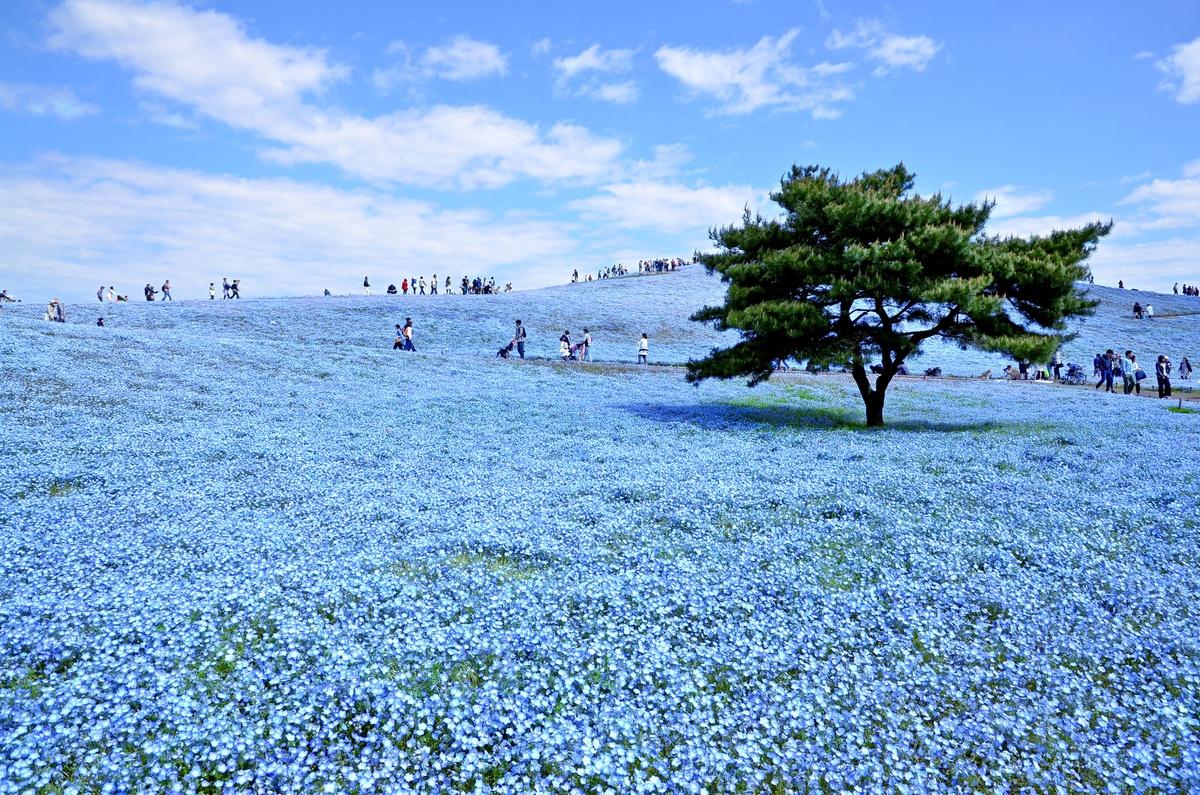 Chùm ảnh: Công viên Hitachi – thiên đường hoa bốn mùa ở Nhật Bản