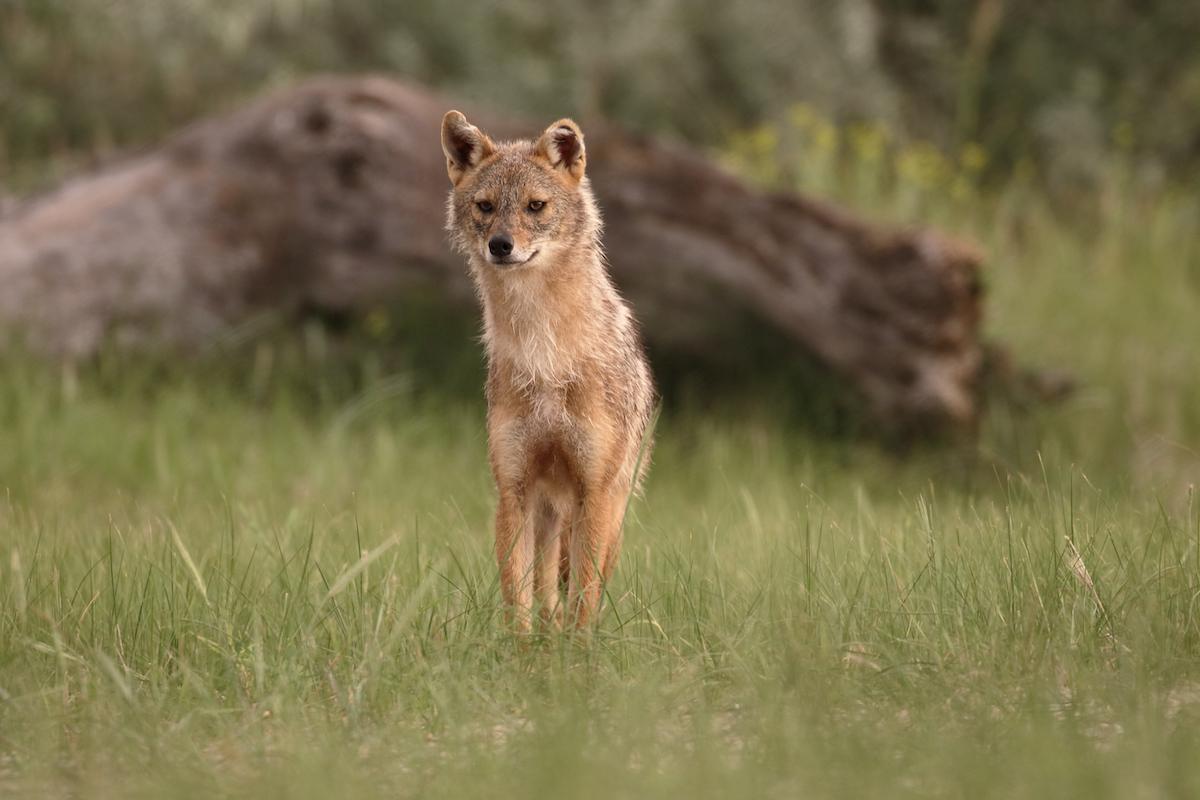 Chuyện về một cô gái Scotland và loài chó sói rừng Việt Nam