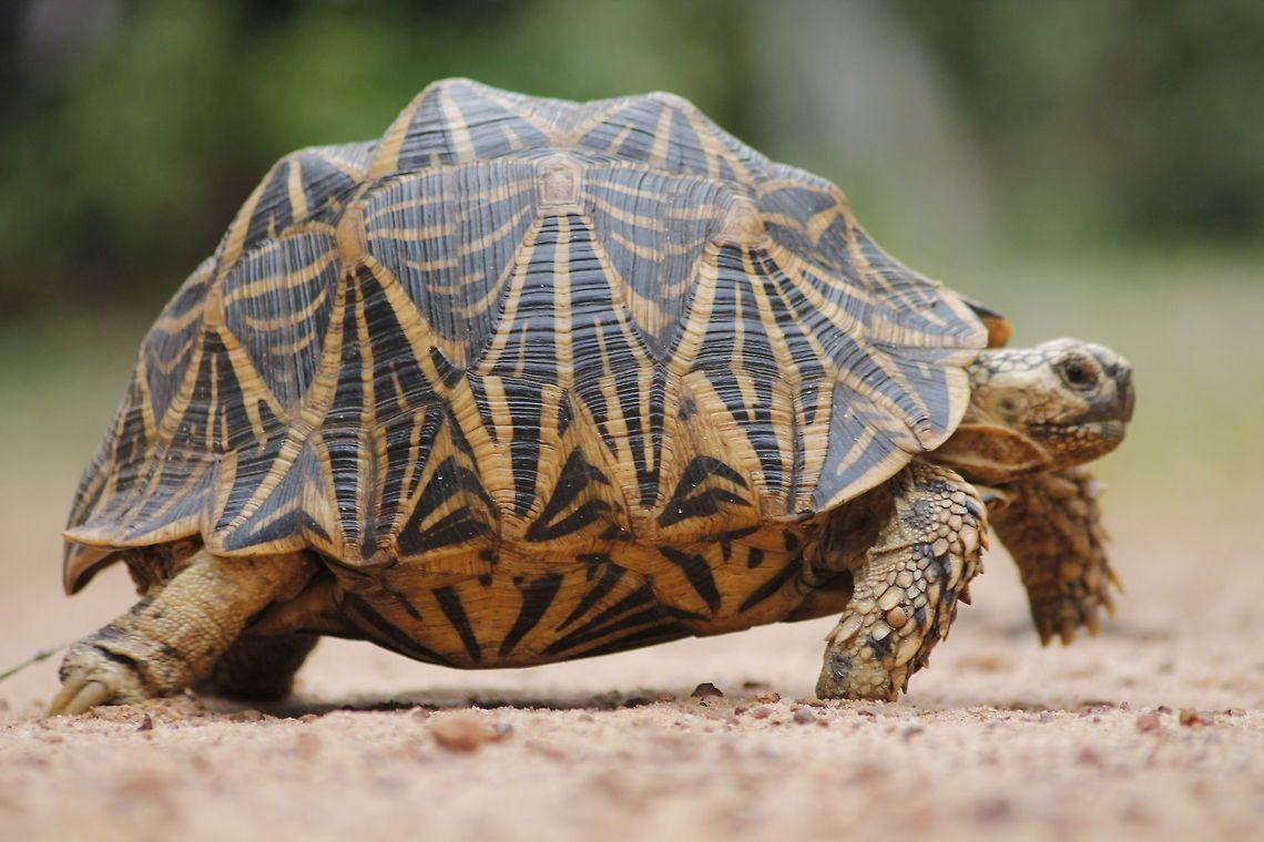 Chùm ảnh: Cận cảnh các loài rùa cạn độc đáo nhất thế giới