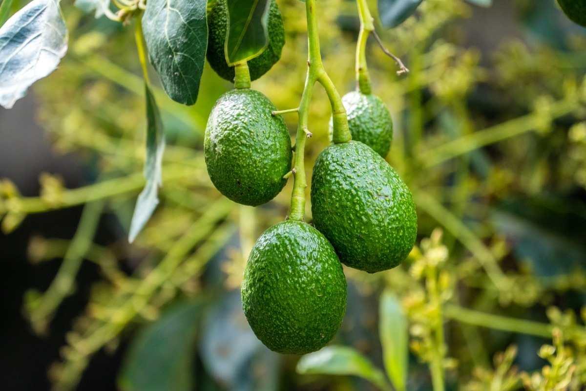Chùm ảnh: Sự thật bất ngờ về nguồn gốc các loài cây ăn quả