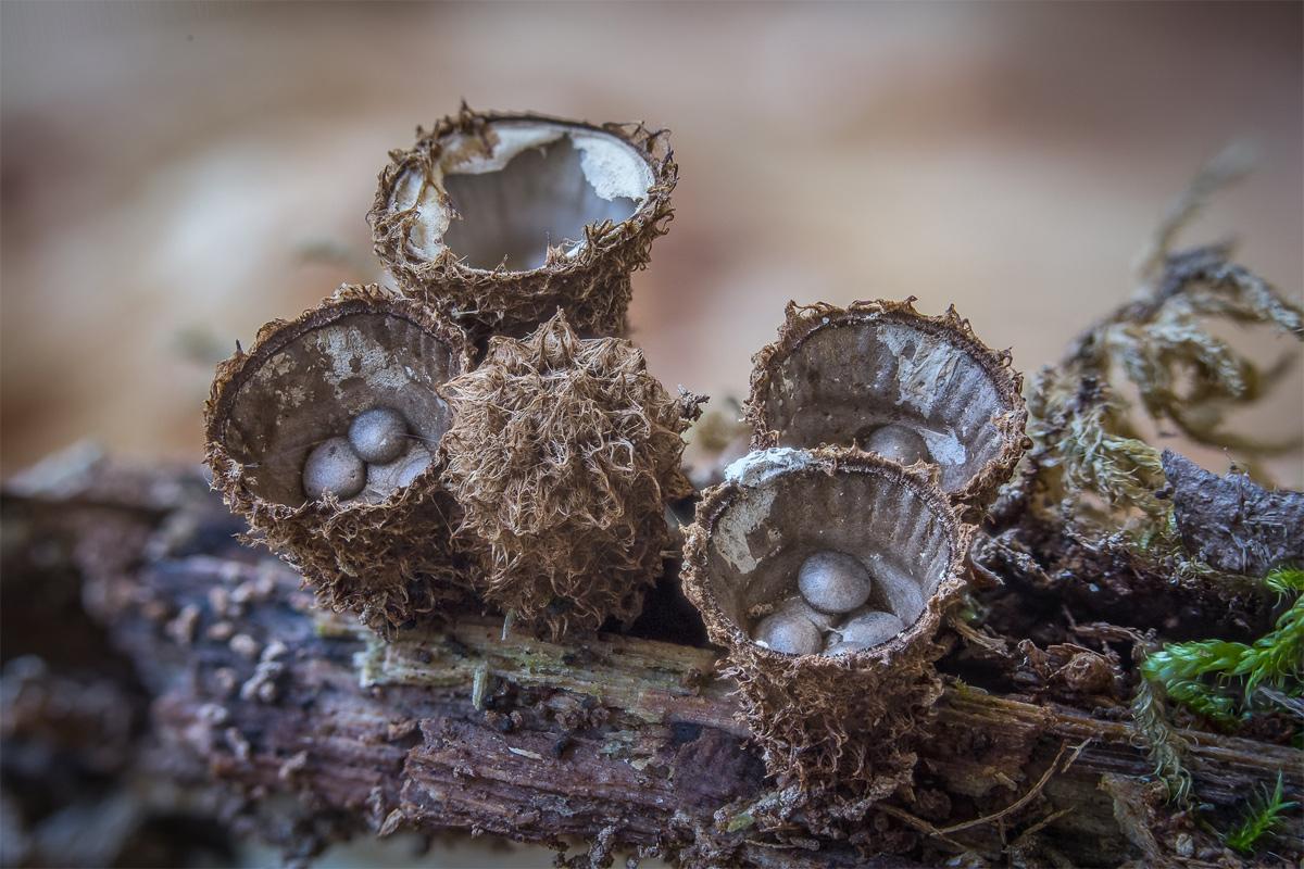 Chùm ảnh: Những loài nấm tán kỳ lạ nhất thế giới